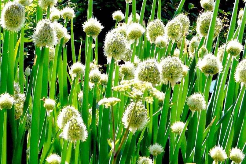 Выращивание лука батуна из семян в открытом грунте