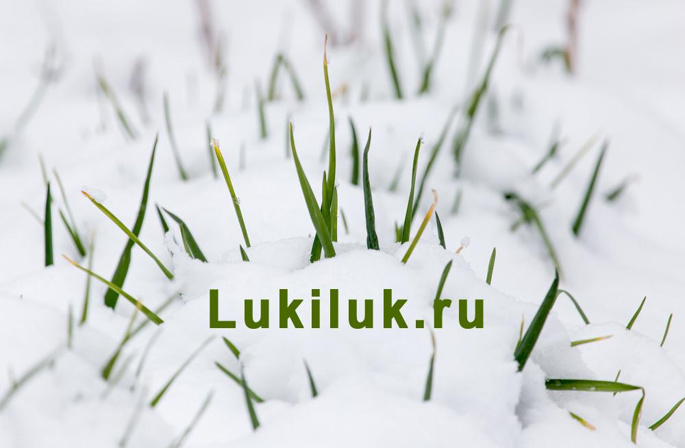 Посадка лука под зиму