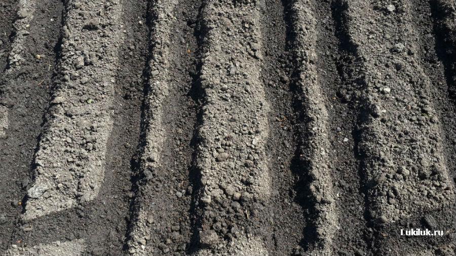 Политые грядки для посадки лука севка