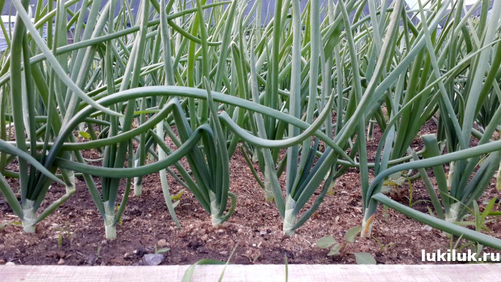 Выращивание лука Штутгартер Ризен в открытом грунте