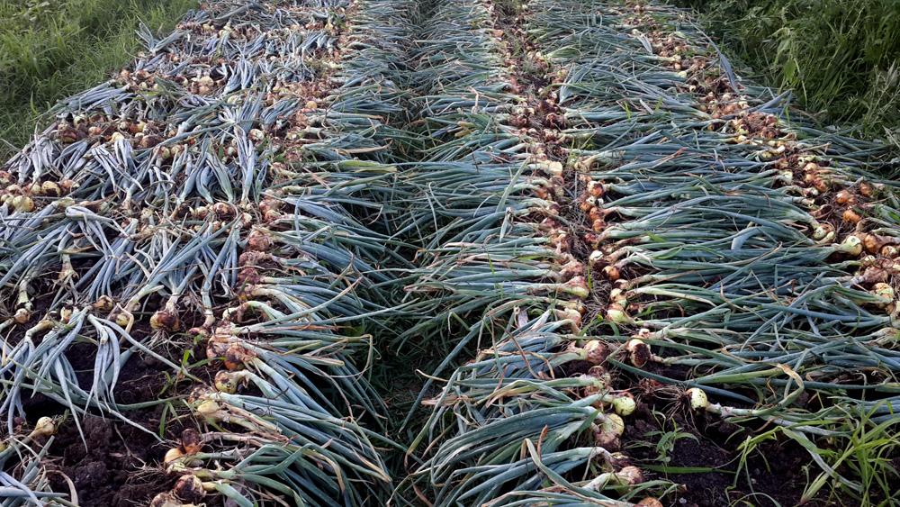 Уборка урожая репчатого лука