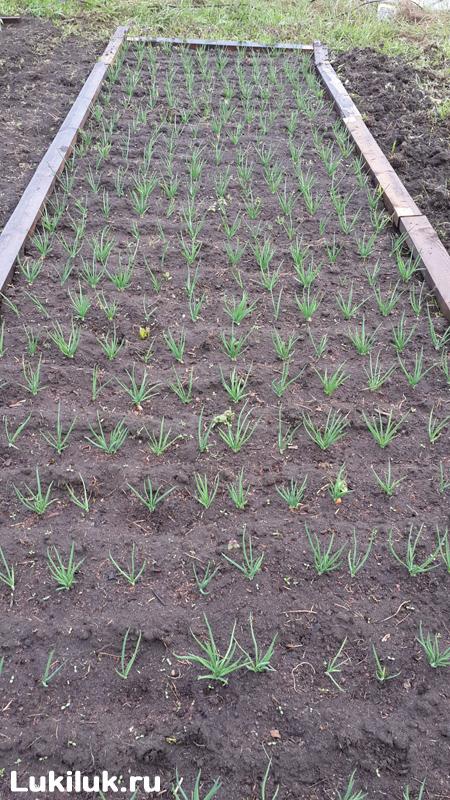 Выращивание Сорокозубки