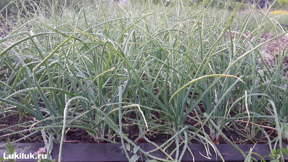 Выращивание лука Сорокозубки