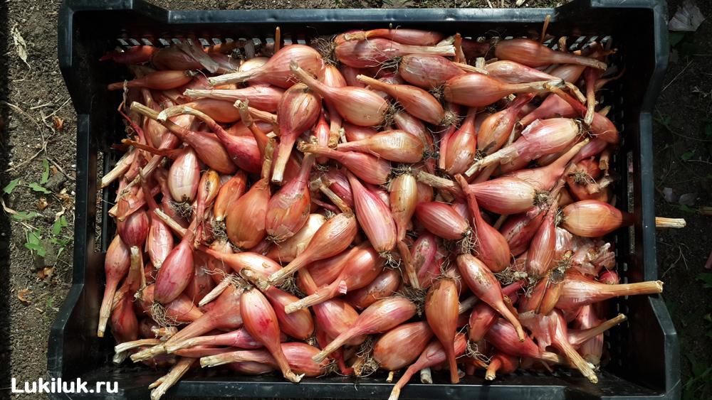Урожай лука Сорокозубки