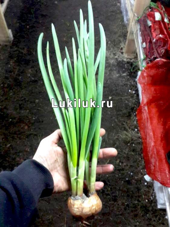 Лук на перо Ростовский местный